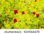 Small photo of Red Flower - Adonis annua with family Ranunculaceae.