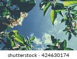 blooming apple tree and sky | Shutterstock . vector #424630174