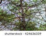 Khasiya Pine On Forest Moutain...