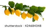 Big Branch Of Lemon Tree With...
