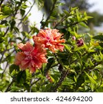 showy pink suffused with orange ... | Shutterstock . vector #424694200