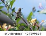 Hummingbird Perched On...