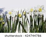 flower of narcissus.   Shutterstock . vector #424744786