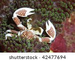 Porcelain Crab  Commensal Crab...