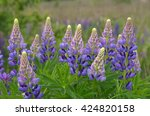 Fresh Lupine Close Up Blooming...