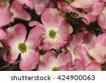 Close Up Of Dogwood Flowers