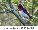Small photo of Violet-backed starling in Kruger national park, South Africa ; Specie Cinnyricinclus leucogaster family of Sturnidae