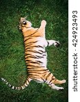 Big Tiger Sleepning In The Grass