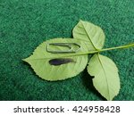 Small photo of Wing feather from Glittering-throated Emerald (Amazilia fimbriata)
