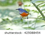 orange bellied flowerpecker... | Shutterstock . vector #425088454