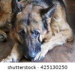 german shepherd portrait | Shutterstock . vector #425130250