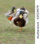 Charging Duck