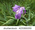 Purple iris flower in drops of rain - stock photo