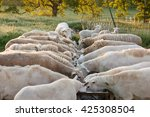 A Flock Of Sheep Feeding At A...