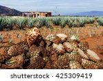 harvesting agave for tequila... | Shutterstock . vector #425309419