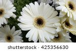 White gerbera flowers - stock photo