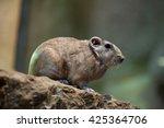 Common gundi (Ctenodactylus gundi). Wildlife animal.