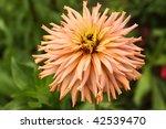 Zinnia Flower  Augustifolia ...