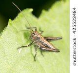 grasshopper on a green leaf.... | Shutterstock . vector #425523484