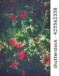 red roses climb a rose arbor in ... | Shutterstock . vector #425562358