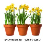 beautiful narcissus in pots... | Shutterstock . vector #425594350