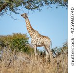 alone giraffe in savannah  ... | Shutterstock . vector #425960740