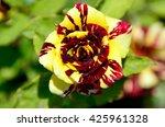 Small photo of The rose Abracadabra in garden