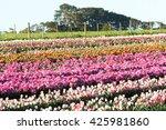 tulip flowers in full bloom at... | Shutterstock . vector #425981860