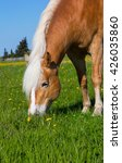head of a haflinger horse on... | Shutterstock . vector #426035860
