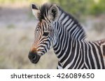 Zebra Foal With Soft Backgroun...