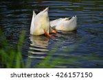 Ducks Swim In The River  Dive...
