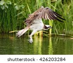 Osprey  Pandion Haliaetus ...