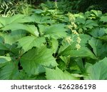 Rodgersia Podophylla Is A...