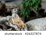 Meerkat Sitting On A Log.