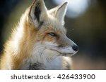 red fox close up portrait un... | Shutterstock . vector #426433900