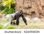 Silverback Gorilla In Captivity