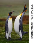 Male And Female Of King Penguin ...