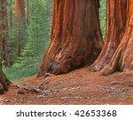 mariposa sequoia grove  ... | Shutterstock . vector #42653368