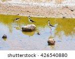 Black Necked Stilts In A Pond...