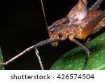 katydid   katydid of borneo  ... | Shutterstock . vector #426574504