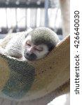 A Squirrel Monkey Or Saimiri I...