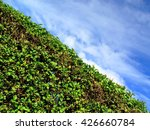 Privet Hedge And Sky With...