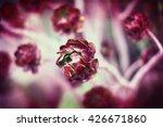 Succulent Flower  Aeonium...