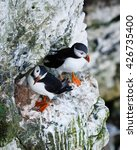 Small photo of Puffins are any of three small species of alcids in the bird genus Fratercula with a brightly coloured beak during the breeding season.