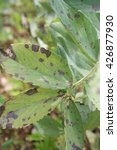 Brown Spots On Leaves Of The...