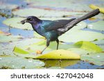 Grackle Carrying Food