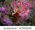 Small photo of Giant Acorn Barnacle surrounded by pink and purple Club-tipped Anemones found off of California's Channel Islands