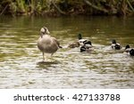 Single Greylag Goose  Anser...
