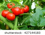 Ripe Red Tomatoes On Green Bush ...