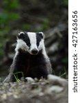 european badger  meles meles ... | Shutterstock . vector #427163656